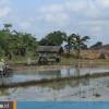 Potret Sawah Dekat Tambang Batu Bara di Desa Karang Tunggal